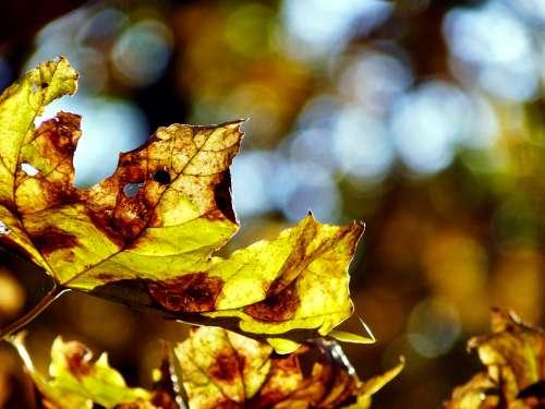 Yellow Fall Leaves Photo