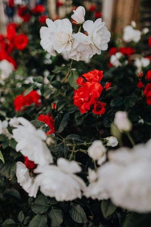 Beautiful roses from Sorrento, Italy