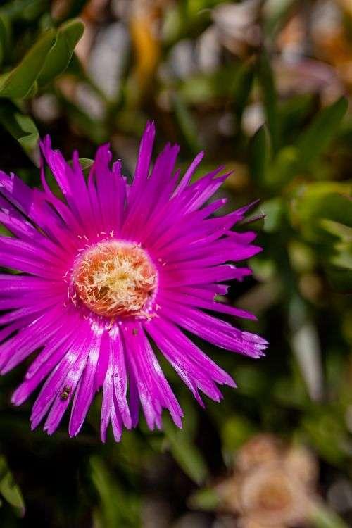 Wild flowers from Amalfi Coast