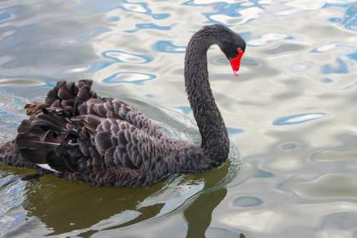Swan waterbird water fowl New Zealand