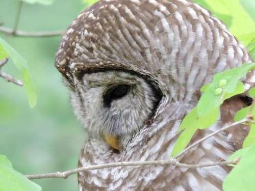Barred owl Hoot Owl raptor predator wild