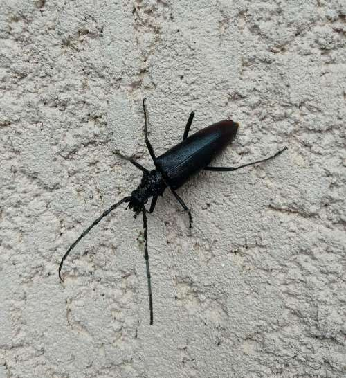 Stag beetle capricorne pest insect wall
