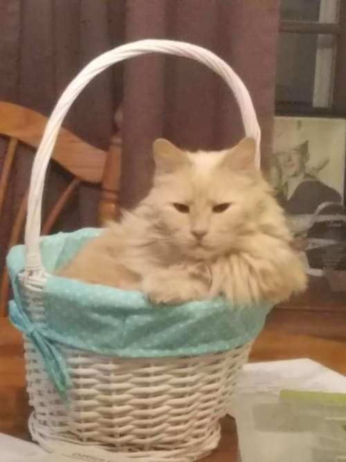 orange basket cat feline pet