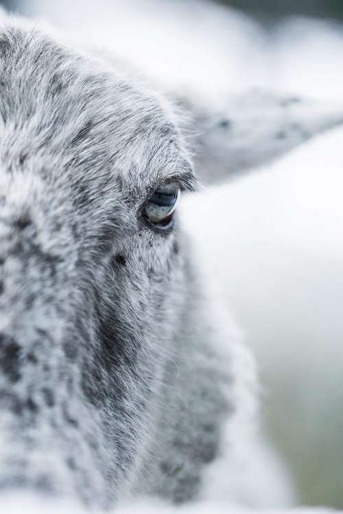 Sheep Eye Close Up Vertical Free Photo