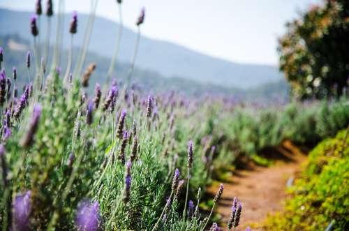 Đà Lạt Lavender Travel Flowers Landscape Nature