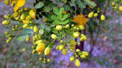 Acacia Tree Nature Foliage Branch Bloom Green