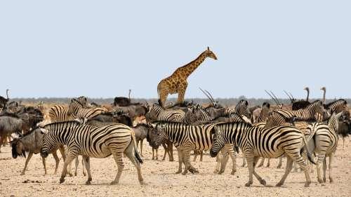 Zebra Gnu Giraffe Africa Namibia Nature Dry