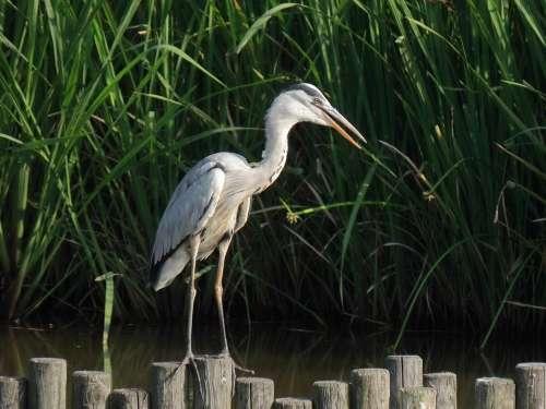 Animal Pond Water Waterweed Bird Wild Birds Heron