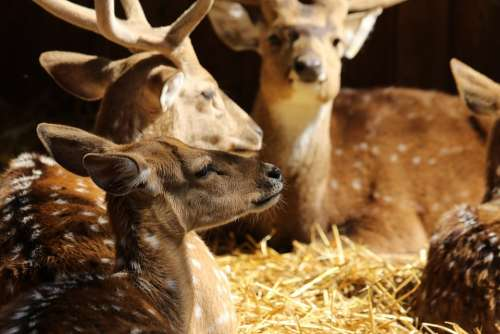Animals Deer Spotted Deer Antlers Resting Light
