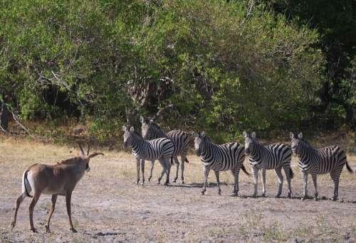 Antelope Impala Zebras Africa Animal World Safari