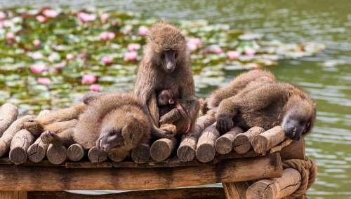 Ape Zoo Primates Baboon