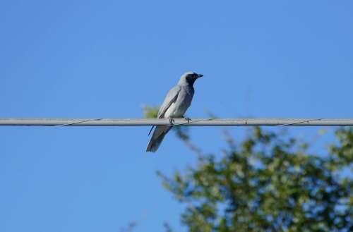 Australian Bird Native Black Faced Cuckoo Shrike