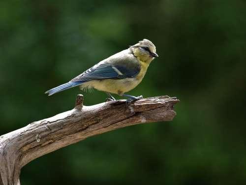 Blue Tit Young Bird Bird Tit Songbird Young Animal