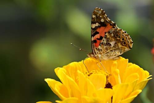 Butterfly Flower Insect Yellow Garden Macro