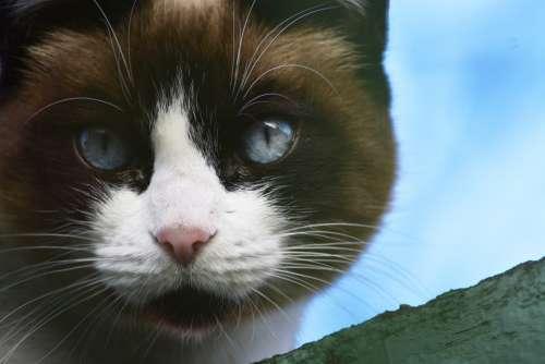 Cat Eye Cat Blue Macro Foreground Animals Mammals