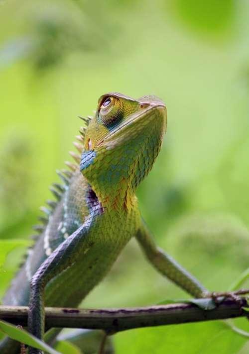 Chameleon Animal Wild Wildlife Nature Colorful