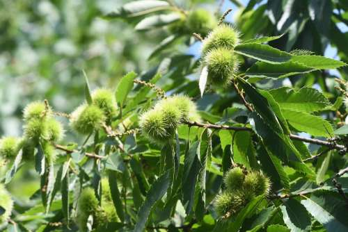 Chestnut Curly Forest Leaves Plant Needles Thorny