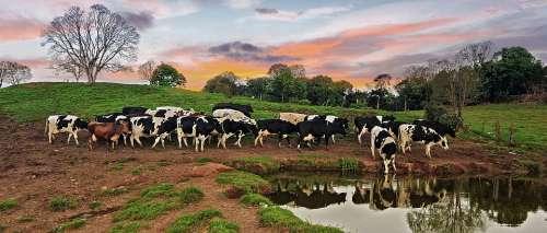 Cow Farm Nature Animal Milk Bull Countryside