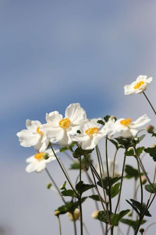Dahlia Flowers White Yellow Blue Sky Sunny Summer