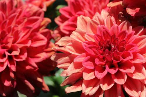 Dahlia Flowers Red Summer Garden Flora Nature