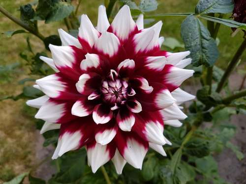 Dahlias Dahlia Flower Summer Blossom Bloom Plant