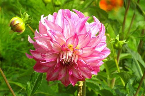 Dalia Georgia Pink Perennial Flower Varicoloured