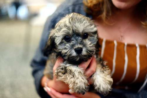 Dog Puppy Shih Poo Young Animal Cute