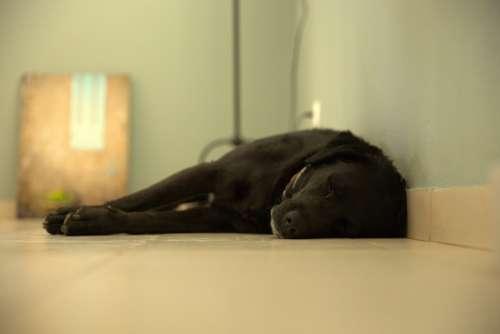 Dog Labrador Black Dog Pet Animal Puppy Portrait