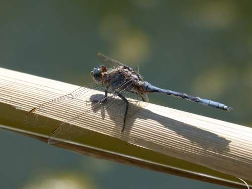 Dragonfly Blue Dragonfly Flying Insect Branch