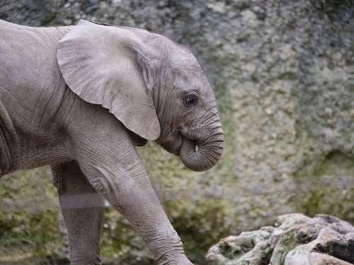 Elephant Baby Zoo Animal World Mammal