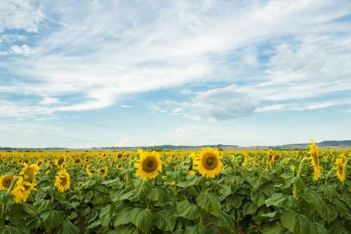 Field Nature Nobody Plant Sunflower Qld