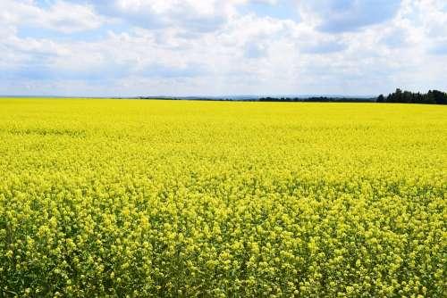 Field Of Rapeseeds Nature Summer Yellow