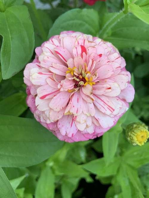 Flower Pink Spring Bloom Colorful Garden Blossom