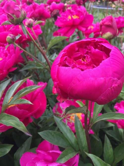Flowerhead Garden Nature Plant Bloom Leaves