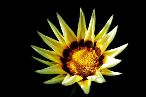 Gazania Flower Nature Garden Closeup Summer