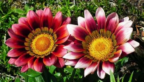 Gazanie Flowers Summer Nature Garden Macro