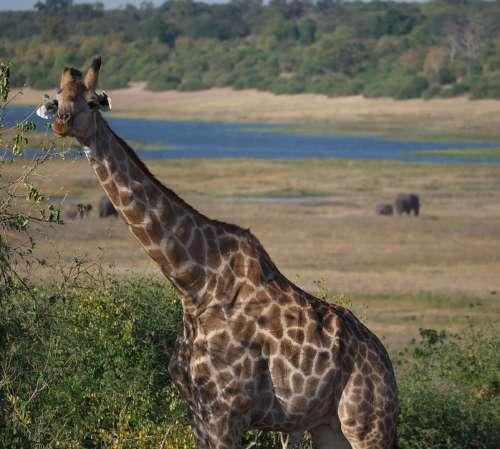 Giraffe Africa Safari Animal World Mammal Neck