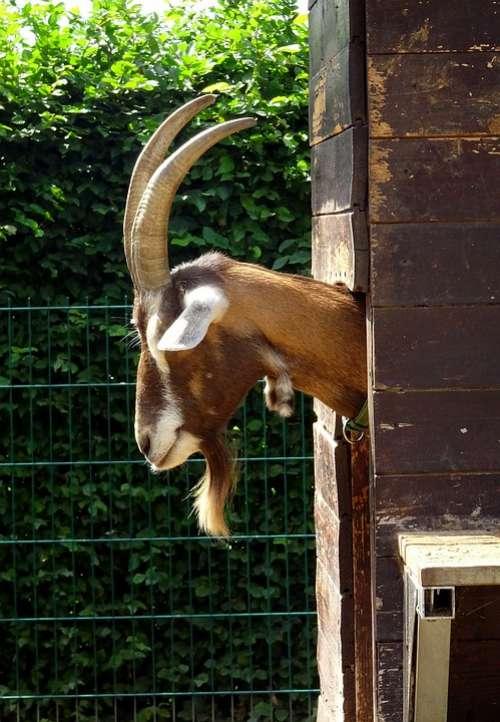 Goat Horns Ruminant Billy Goat Horned Head Goatee