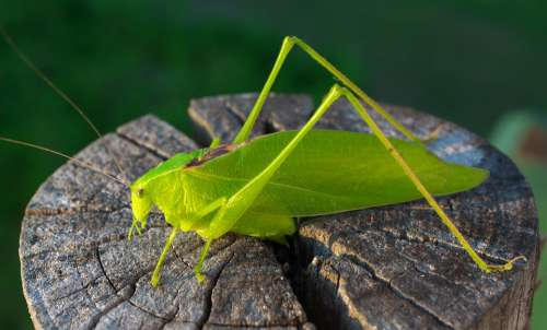 Grasshopper Green Insect Nature