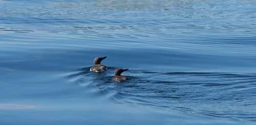 Guillemot Pair Bird Seabird Auk Couple Together