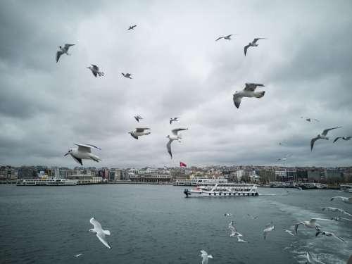 Gulls Seagull Bird Marine Flying Animal Flight