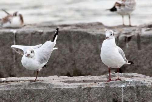 Gulls Lake Stones Seevogel Wing Ballet Feat
