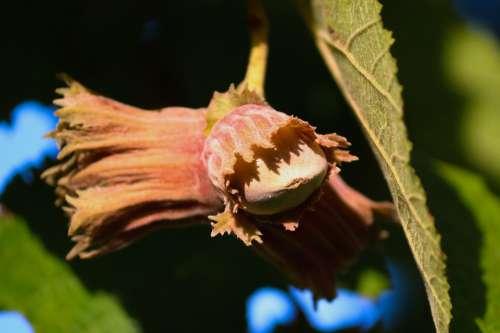 Hazelnut Hazel Corylus Avellana Hazelnut Leaf