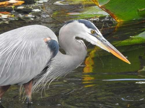 Heron Wildlife Bird Nature Plumage Feather
