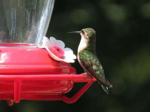 Hummingbird Feeder Wildlife Small Colorful Animal