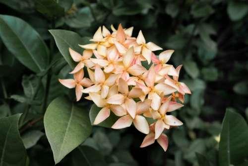 Ixora Flower Yellow Floral Blooming Gloomy