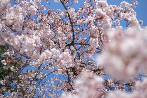 Japan Sakura Spring Flower Cherry Branch Nature