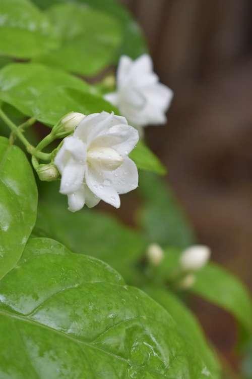 Jasmine Flower Plumeria Plant Garden White Spring