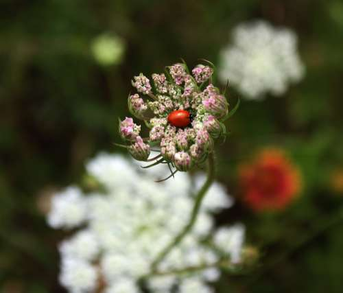 Ladybug Wild Carrot Queen Anne'S Lace Nature