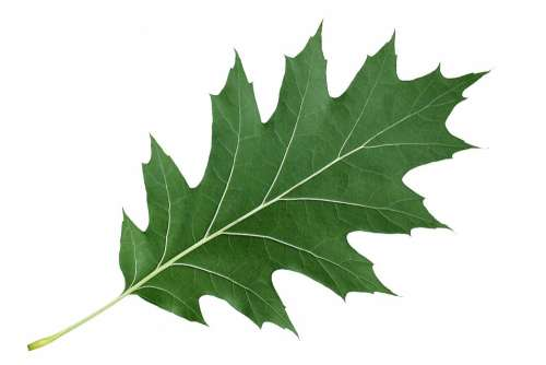 Leaf Red Oak Leaf Nature Green